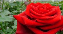 dramm-echter-rose-image